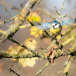 "Blue Tit In Fall II • <a style=""font-size:0.8em;"" href=""http://www.flickr.com/photos/7223507@N07/22938174064/"" target=""_blank"">View on Flickr</a>"