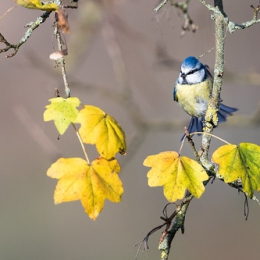 "Blue Tit In Fall I • <a style=""font-size:0.8em;"" href=""http://www.flickr.com/photos/7223507@N07/23566407785/"" target=""_blank"">View on Flickr</a>"