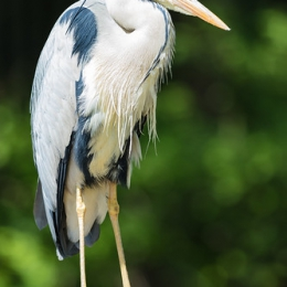 "Grey Heron • <a style=""font-size:0.8em;"" href=""http://www.flickr.com/photos/7223507@N07/17978587051/"" target=""_blank"">View on Flickr</a>"