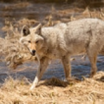 """Coyote Along The River • <a style=""""font-size:0.8em;"""" href=""""http://www.flickr.com/photos/7223507@N07/8211833138/"""" target=""""_blank"""">View on Flickr</a>"""