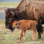 "Bison Calf With Its Mum • <a style=""font-size:0.8em;"" href=""http://www.flickr.com/photos/7223507@N07/8210742739/"" target=""_blank"">View on Flickr</a>"