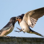 """Mehlschwalbe - House Martin • <a style=""""font-size:0.8em;"""" href=""""http://www.flickr.com/photos/7223507@N07/28054038083/"""" target=""""_blank"""">View on Flickr</a>"""