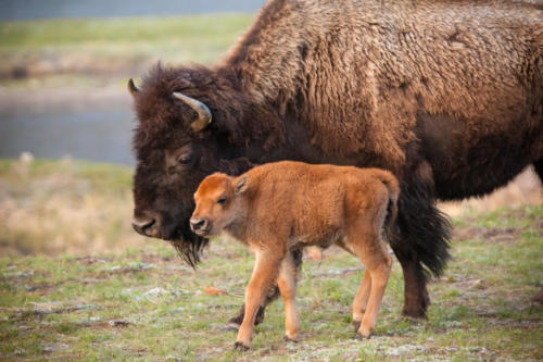 Bison Calf With Its Mum