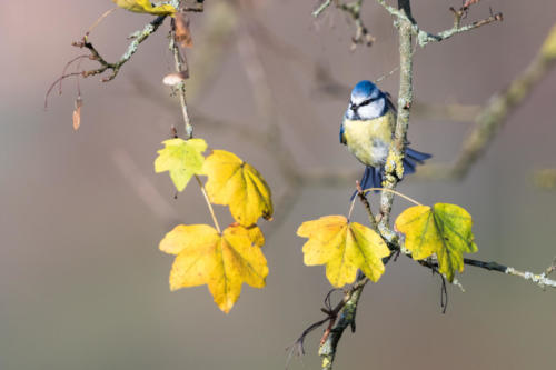 Blue Tit In Fall I