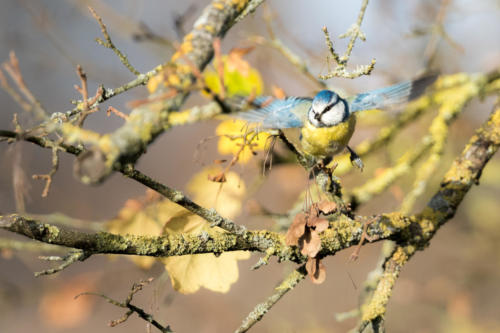 Blue Tit In Fall II