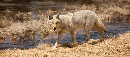 Coyote Along The River