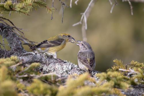 Fichtenkreuzschnabel - Weibchen füttert Jungtier