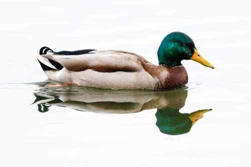 Mallard Duck I