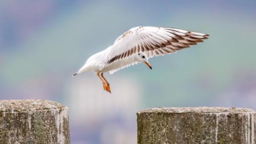 Mew Gull I