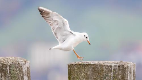 Mew Gull II