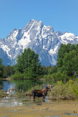 Moose Infront Of Mt. Moran
